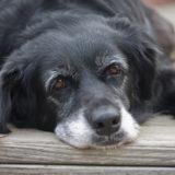 7歳からのシニア犬(老犬)におすすめのドッグフードと正しい選び方