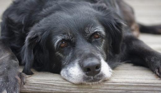 7歳からのシニア犬(老犬)におすすめするドッグフードと正しい選び方
