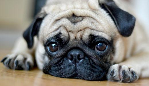 太りやすい犬種パグにおすすめのドッグフード