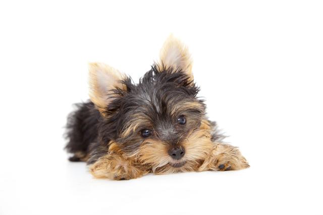 子犬のヨークシャテリア