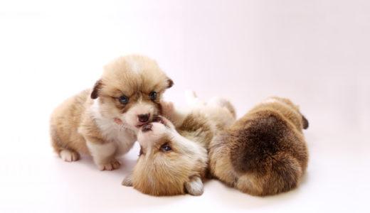 子犬(パピー)用のおすすめドッグフード【10商品を徹底比較】