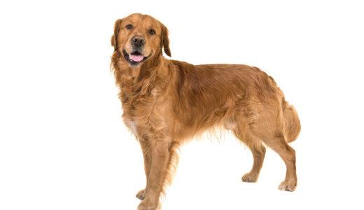 ゴールデンレトリバーなどの大型犬におすすめのドッグフード